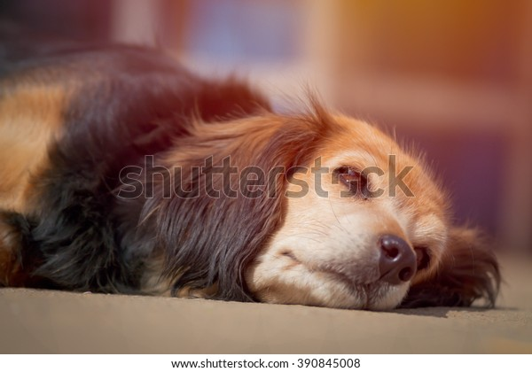 Dog laying on the floor mad with pastel filter background (selective focus eye)