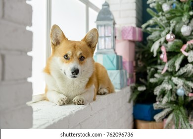 A dog laying on a window seal with a christmas tree on te background looking straight
