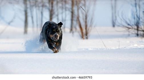 dog leaps through a snowy field toward the camera.