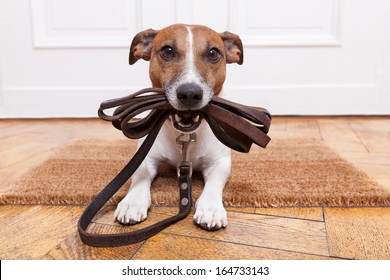 dog with leather leash waiting to go walkies