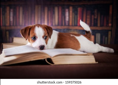 dog in the library. Jack Russell Terrier