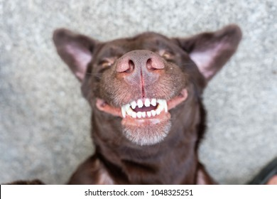 dog lie on its back and show smiling dog teeth