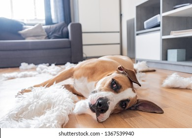 Dog lies among torn pieces of a pillow in a living room. Funny staffordshire terrier and destroyed homeware, untrained dog left alone at home