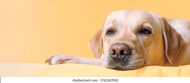 The dog lies comfortably on a yellow bed. Close-up portrait.Banner