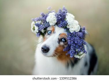 dog lies in the flower. Pet outdoors in the spring. Australian shepherd flower wreath on the dog's head
