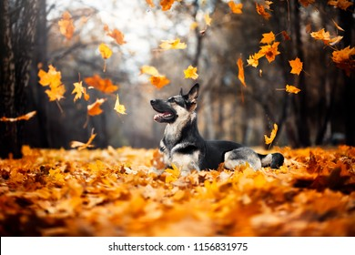 the dog lies in the foliage. East European Shepherd. flying leaves. autumn