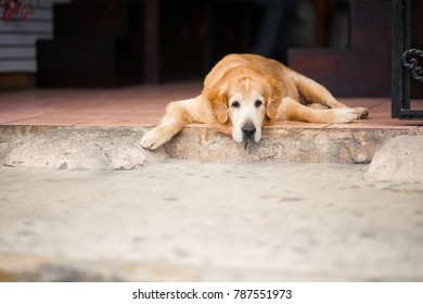 dog lies and looks into the camera
