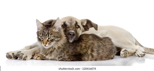 the dog lies on a cat. isolated on white background