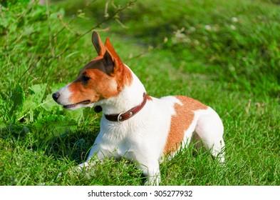 dog lies on the grass