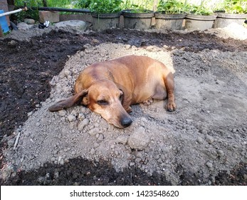 the dog lies on the ground, digging a hole. natural cooling for the animal. summer heat in the countryside. hunting dog Dachshund