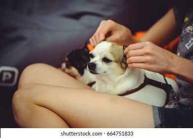 The dog lies on his lap and is massaged with ears, canine relax, spa