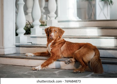 the dog lies on the porch of the house. Nova Scotia Duck Tolling Retriever