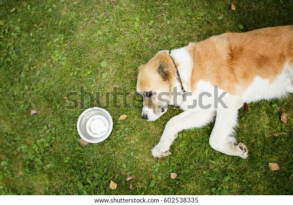 The dog lies on its side on the grass, it is very hot and has a heat stroke from the sun, next to it there is a bowl of water.