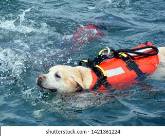 Dog lifeguard who work with the Italian Coast Guard, and are believed to save about 3,000 people every year.There are currently 300 canine lifeguards working on Italian beaches