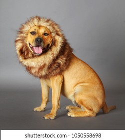 "the dog ""Lion King"" a stafforfshire seated dressed like a lion i grey background"