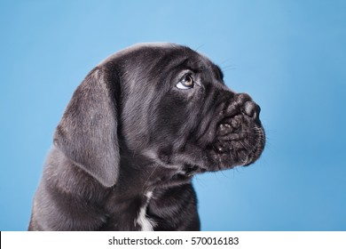 dog, little puppy  black cane corso on a blue background, sad little wrinkled thoughtful friend, pet, purebred puppy, portrait in the studio isolated on a blue background.