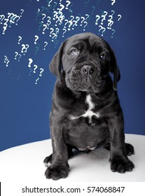 dog, little puppy black cane corso on a dark blue background, the puppy has a lot of questions, dog want to ask. Business problem and its solution, training, learn English, learn languages.