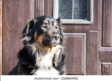 dog with long hair burned by the sun on the background of the door.