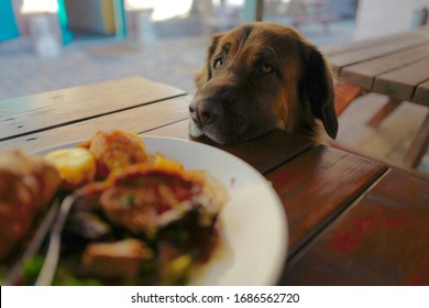 A dog looking adoringly at a pub roast dinner while resting head on a wooden table waiting for the owner to share some food