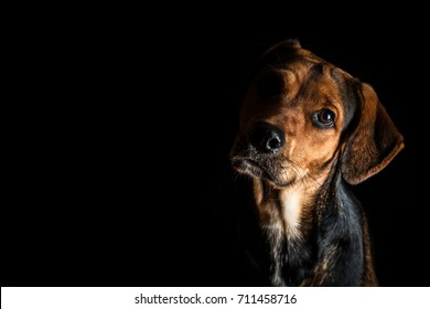 Dog looking to camera with black background