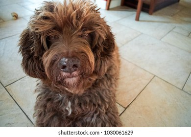 Dog looking dumb, spanish water dog, dog portrait