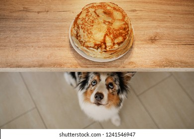 dog looking at food. The Australian shepherd is waiting for pancakes. Pet eating