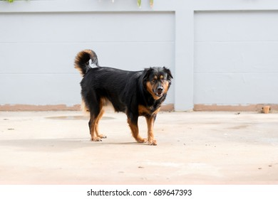 the dog is looking forward and smile to the stranger.it has black hair and four brown legs.it is standing on road side.