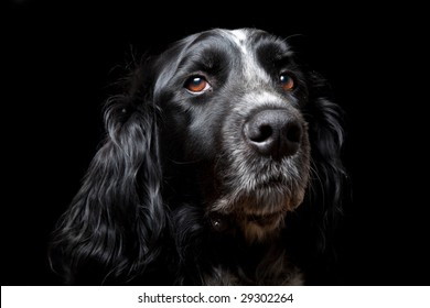 Dog looking into camera isolated on black