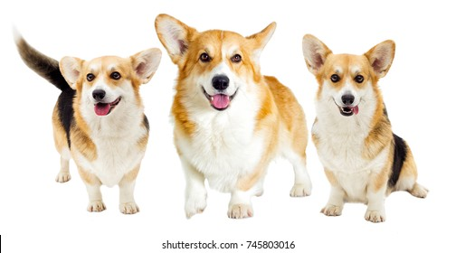 dog looking on a white background