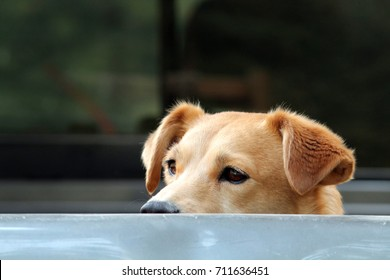 Dog looking over Truck Bed