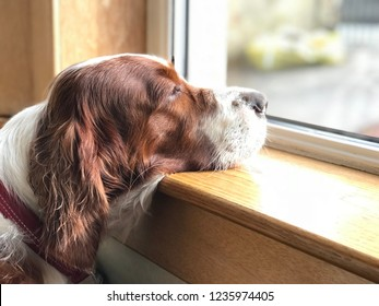 A dog looking sadly at the window. Irish Red and White Setter.