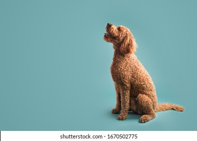 Dog Looking to the Side on Colored Background
