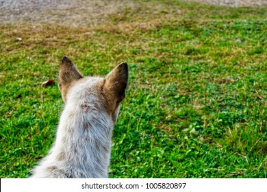 A dog is looking for something at the field cause its ears go straight. Back head of dog.