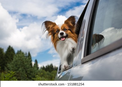 Dog looking through the open car window