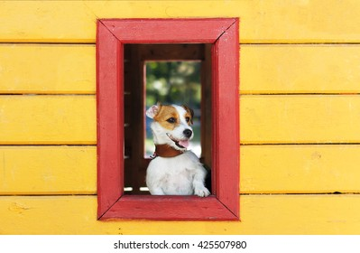 Dog looking through a window Jack Russell Terrier