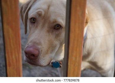 Dog Looking Through Wooden Gate