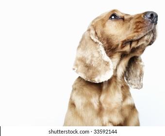 dog looking upwards off-camera