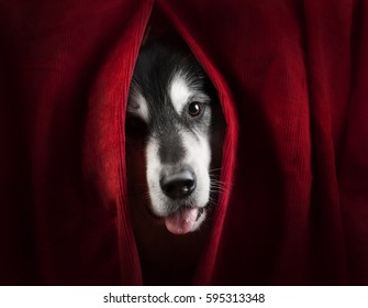 dog looks forward  through the red drapes