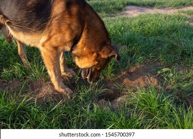 the dog looks into the hole,funny dog looking for treasure in the pit, dog dug a hole in the lawn