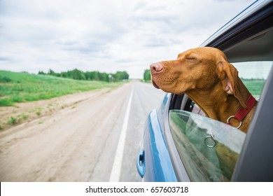 dog looks out of car window