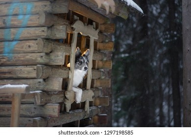 The dog looks out of the window of the wooden house. Border Collie in winter. Walk with pet