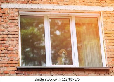 The dog looks sad in the window. The window in the brick wall of the building. The dog is waiting for its owners sitting by the window.