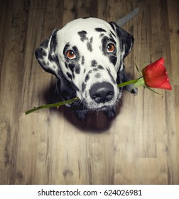 dog in love with red rose in the mouth present it to somebody