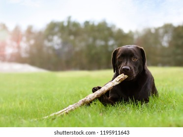 Dog lying down in green gras field playing with a wooden stick
