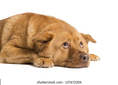 Dog lying down and looking up. Photo isolated on white background