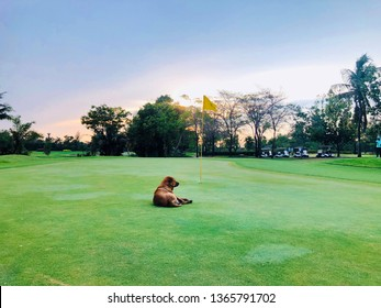 Dog to lying down on the putting green grass as while golfers playing in golf course.