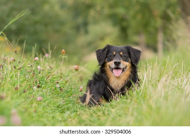 Dog lying in a meadow and watch attentively