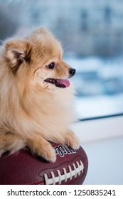 dog lying on a ball, pomeranian spitz puppy and american football