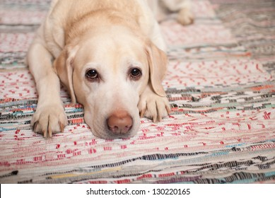 The dog is lying on the carpet