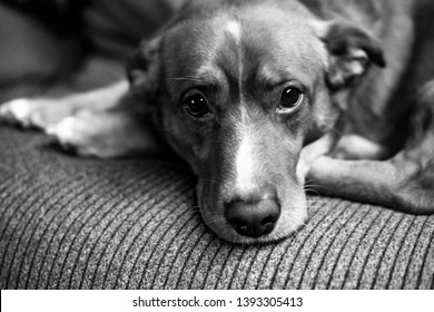 Dog lying on the couch, black and white photo